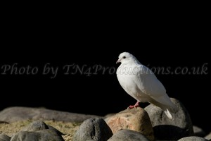 Dove on the Rocks... (Ain't no surprise...) from our nature collection