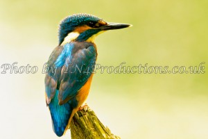 Kingfisher on a Perch from our nature collection