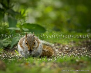 """Squirrel at Arne"" from our nature collection"